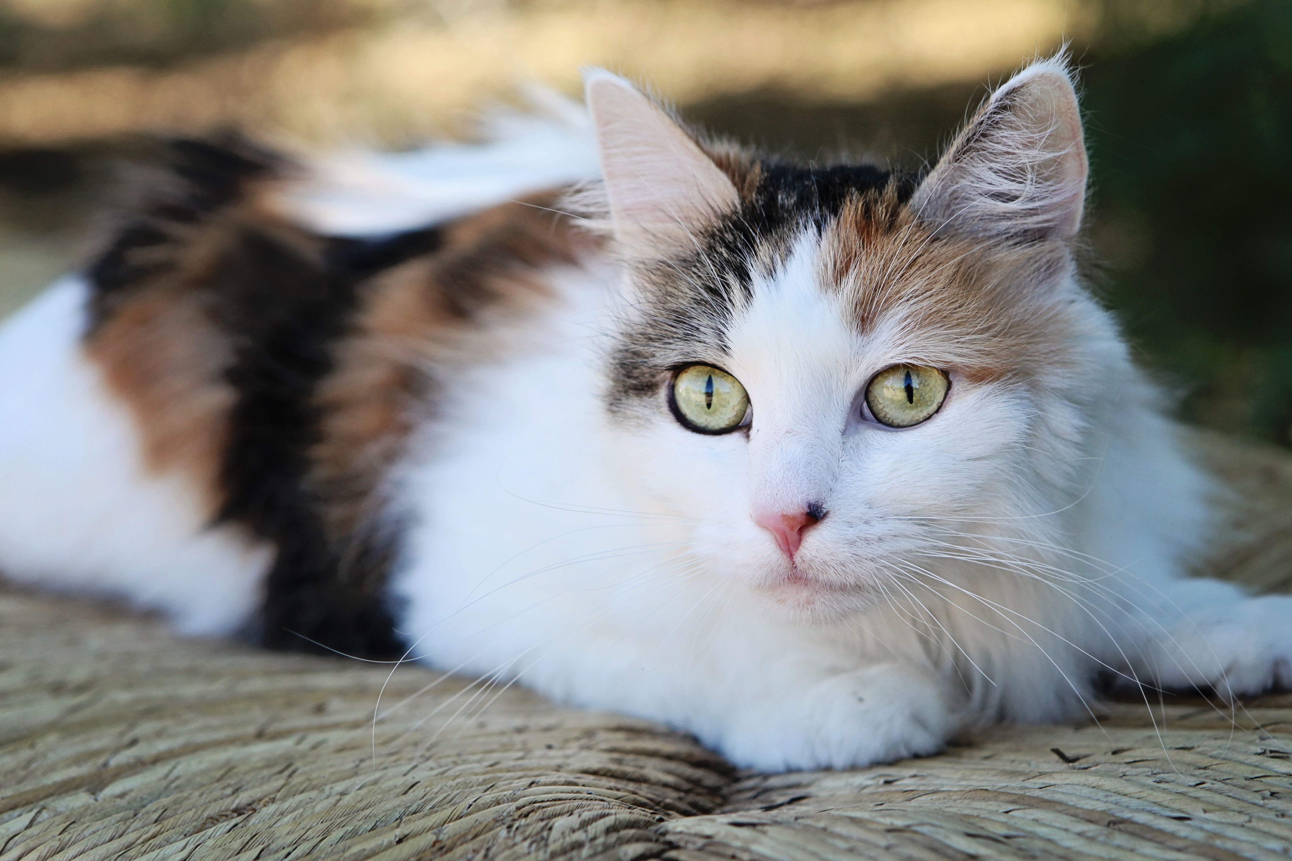 Fiona, long haired calico cat