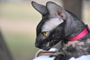 Bianca the cornish rex cat