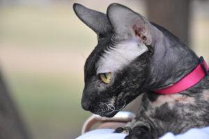 Bianca the cornish rex cat