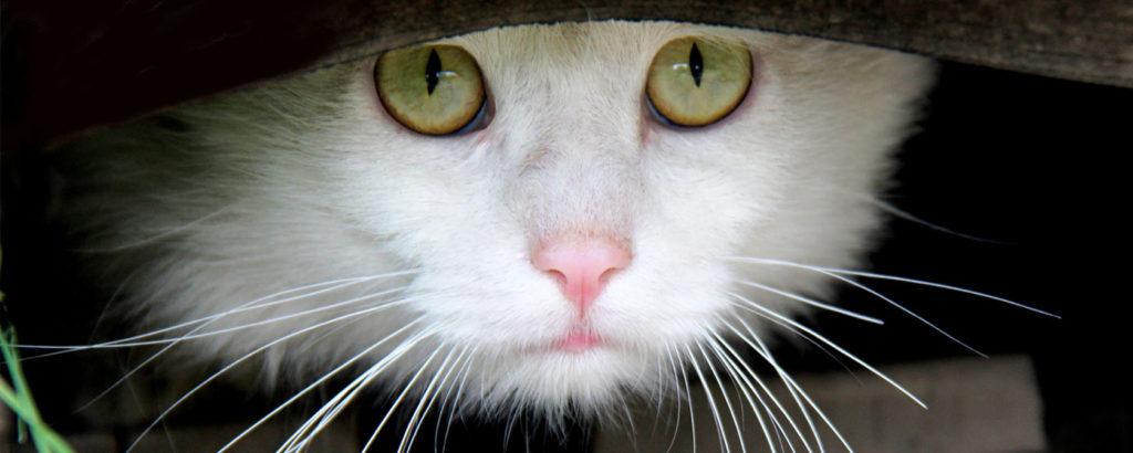 Feline Behavior Modification & Training